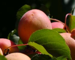 sairuh-apricot-ripe2007.png