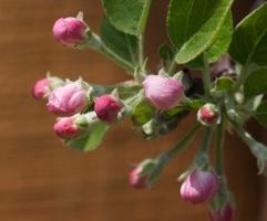 sairuh-apple-braeburn-blossoms2009.jpg