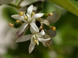 sairuh-lime-blossom2007.jpg